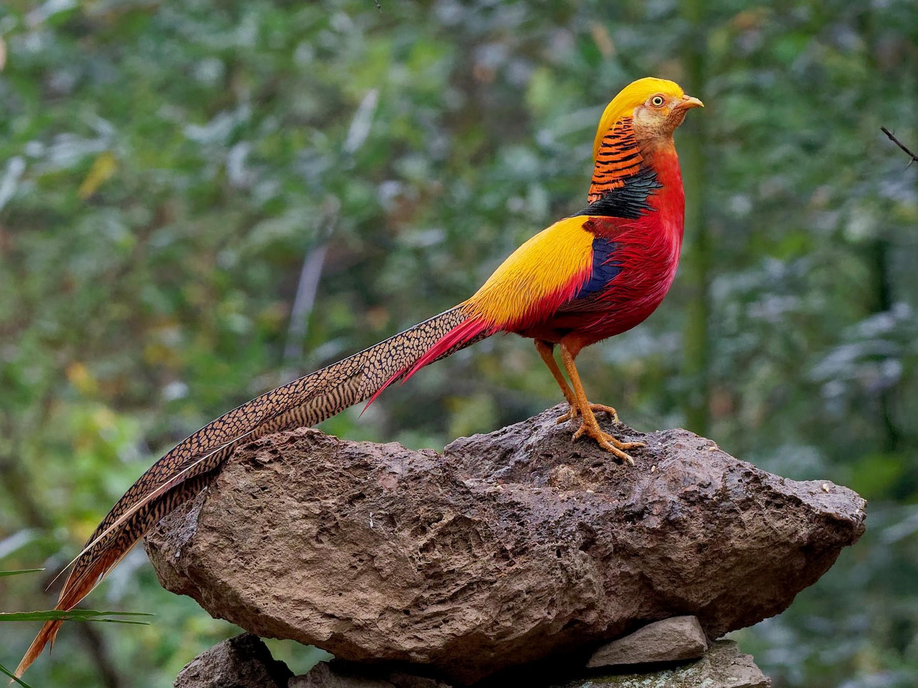 Golden-Pheasant1.jpg