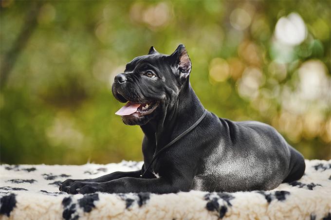 CaneCorso_dog_2.jpg