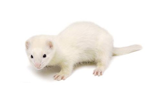 Ferret-White_inetfarms_3.jpg
