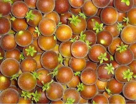 Tropical-apricot.jpg