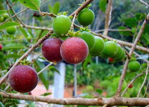 Tropical-apricot1.jpg