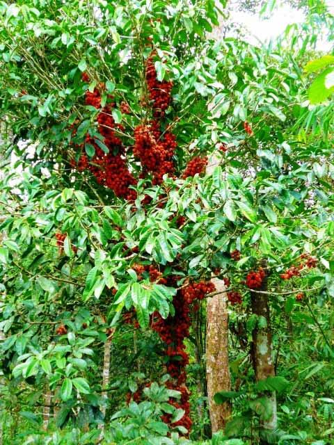 belimbing-darah-tree.jpg