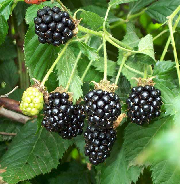 blackberrycluster.jpg