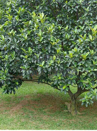 cempedak-artocarpus-integer-arng9x.jpg