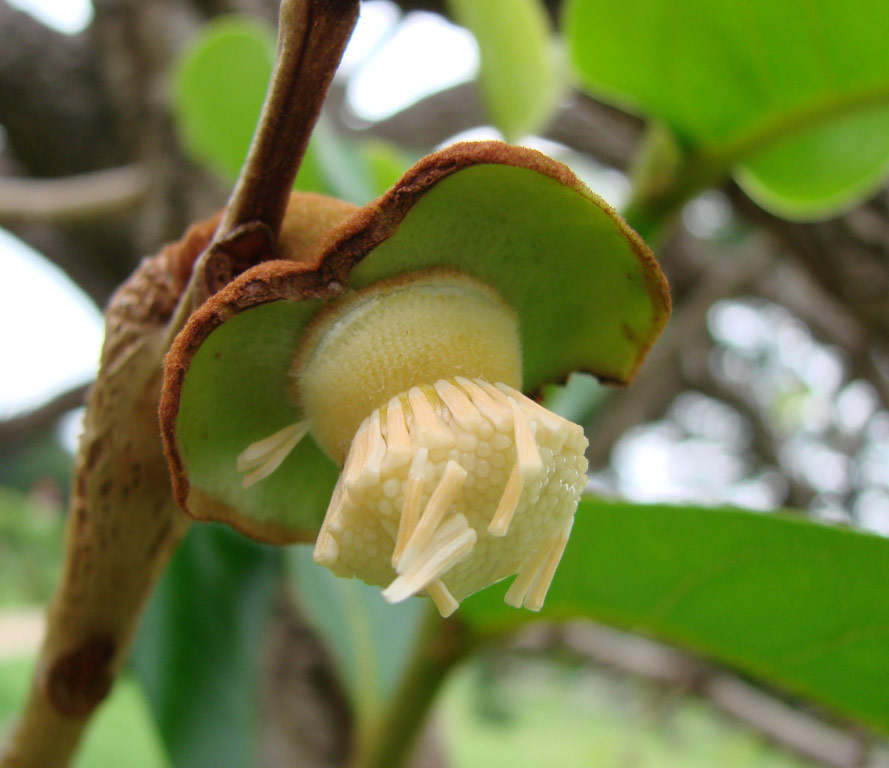 inet_Annona_crassiflora_flower.jpg