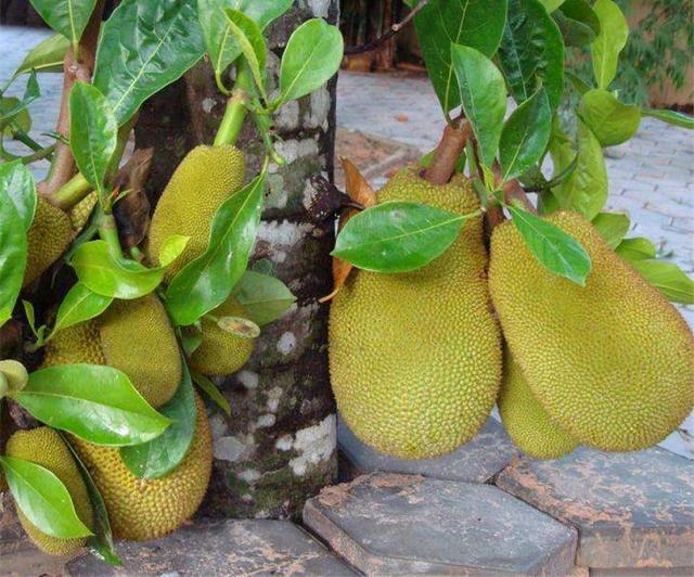jackfruit11.jpg