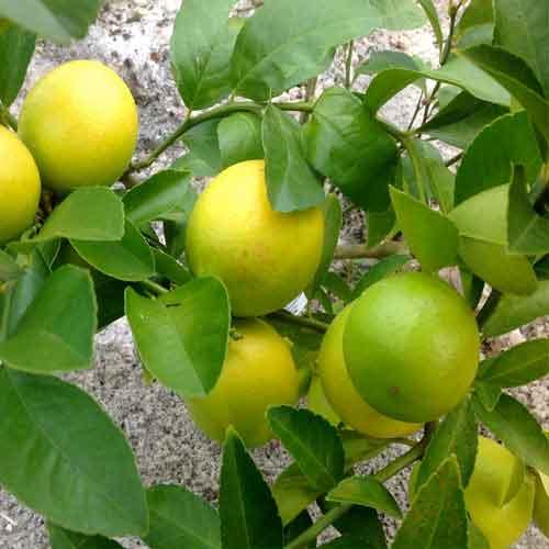 sweet-lemon-2.jpg