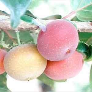 tropical-apricot2.jpg