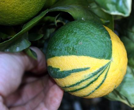variegated_orange.jpg