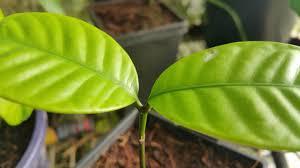 willughbeia_angustifolia3.jpg