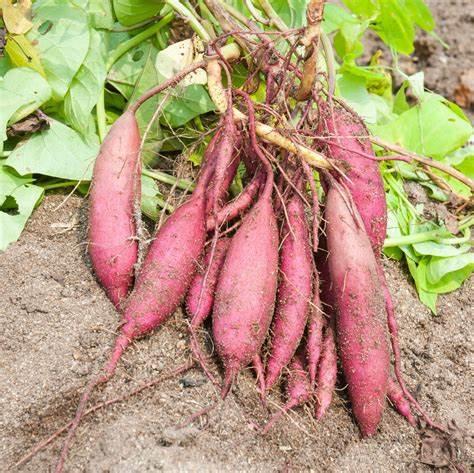 Sweetpotato2.jpg