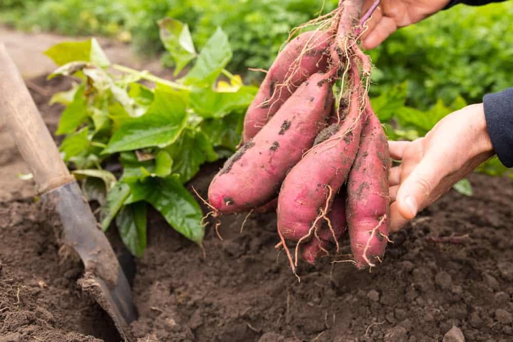 bush-sweet-potatoes-.jpg